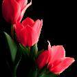 Tulipán csoport